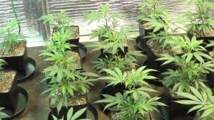 Marijuana clones ready for veg stage
