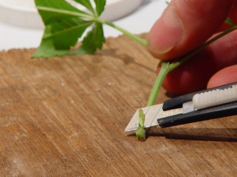 Cutting a marijuana plant with a knife to be cloned