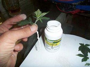 Marijuana Root Powder