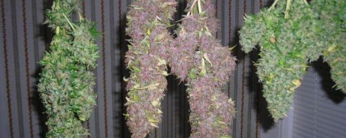 Guide to Drying and Curing Cannabis Buds