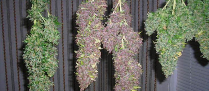 Drying and Curing Cannabis Buds