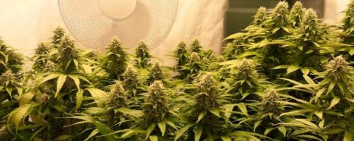 How to Grow Bigger Cannabis Buds