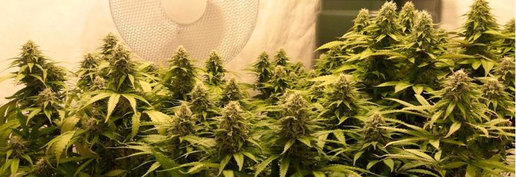 Grow Bigger Cannabis Buds